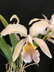Cattleya mossiae var. coerulea (Orchideen Ingolstadt) Tags: cattleya mossiae var coerulea
