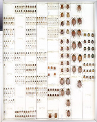 Collection Ambjörn Carlsson 36 (Biological Museum, Lund University: Entomology) Tags: scarabaeidae aphodiinae melolonthinae rutelinae coleoptera