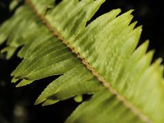 Undergrowth (Snorkle-suz) Tags: macromondays intothewoods green fern vegetation foliage outside stem leaf greenery flora plants leaves macro dof shallowdepthoffield nz newzealand aotearoa garden nature canoneos600d canoneosrebelt3i canoneoskissx5 1855mm 18to55mm