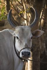 Bullock (beachinrn) Tags: bullock cow horns tethered india punecountryside