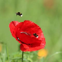 Pas une minute à perdre ! (Callie-02) Tags: canon profondeurdechamp couleurs rouge insectes fleur proxi extérieur jardin