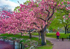 Pink and Green on the Boston Esplanade ((Jessica)) Tags: pink green pinkandgreen boston esplanade cherrytree cherryblossoms flowers grass water person dog magenta spring springtime tree massachusetts newengland nature park colorful sony a6000 35mm