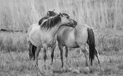 Konik Horses 1 mono (saundersfay) Tags: konikhorses mono