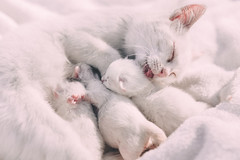 Mother cat caressing her kittens (freestocks.org) Tags: adorable animal babies beautiful breed caress caressing cat clean closeup cub cute cuteness domestic family feed feline fluffy hair haired kitten kittens kitty laying lick little mom mommy mother pet relaxing sweet white