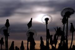 Dandelions in sunset (joka2000) Tags: sunset dandelion seed cloud silhouette light