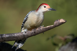 Red-bellied Woodpecker, York County, PA [Explore 26 April 2017]