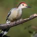 Red-bellied Woodpecker, York County, PA (Blackrock23) Tags: bird woodpecker redbelliedwoodpecker nikond500 nikon200500