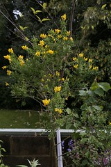 Montpellier broom (Teline monspessulana) (tiger289 (The d'Arcy dog supporters club)) Tags: highdown garden highdowngardens westsussex trees cherrytrees plants shrubs flowers hardwood judastree deciduous pond fish carp fruittree blossom spring lawns saplings bark redbark manorhouse highdownmanor restaurant allotment ww1 digforvictory foodproductionathome grass lawn flowerbeds ponds wildlife outdoor floralwalk avenueoftrees beechtrees redwoods insects birds squirrels bees pollen iteailicifolia hollyleavedsweetspire iteaceae tree plant foliage flower leaf perfume petals branch nature naturalworld chalkpit acidbeds landscape forest undergrowth woodland glade telinemonspessulana montpellierbroom