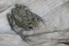 Duttaphrynus melanostictus (T.Garrigues) Tags: frog toad amphibian crapaud amphibien batracien thaïland bufo melanostictus bangkok anoure anura duttaphrynus macro