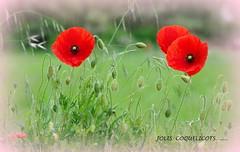 coquelicots (Marie-Laure L) Tags: fleur coquelicot rouge vignettage vignetting