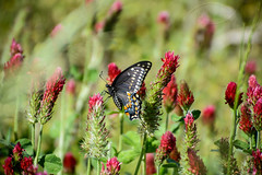 Butterfly and Red Clover - A lunch break photo († David Gunter) Tags: butterfly redclover red clover nature natural flowers swallowtail