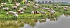 Stadskudde Grunn,Groningen,the Netherlands,Europe (Aheroy) Tags: sheep schapen aheroy aheroyal groningen groningenstad stadskudde stadskuddegrunn tonemapped kudde herd herde troupeau manada animals dieren 全景 quánjǐng