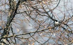 White wagtail (Motacilla alba) Explored (- Man from the North -) Tags: tree bird branches wagtail wildlife motacillaalba naturallight nature animal finland westcoast ostrobothnia nikon tamron d500 explored explore