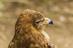 Aquila rapax (Martika64) Tags: águilarapaz águilanipalense tawnyeagle eagle bird rapacious animal naturaleza naturephotography feather plumas pico color colorimage imagenacolor outdoor noperson