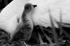I need care... (carlo612001) Tags: swan chick bw black white blackandwhite nature help care drama dramatic goingdown