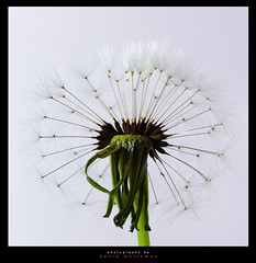 Launch Pad (Dave Whiteman - AU) Tags: dandelion dandelionhead flower plant floral nature