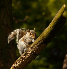 Carl the Squirrel (Barry Miller _ Bazz) Tags: squirrel wildlife animal widnes victoria park trail canon 5d mark3 300mm f4l lens l outdoor photography nature tree nuts