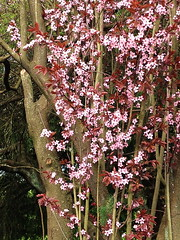 Plum Blossoms Everywhere (Prunus mume) (FernShade) Tags: prunusmume plumblossom floweringplum floweringtrees