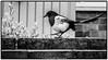 Day 127 (lizzieisdizzy) Tags: blackandwhite blackwhite beautiful black whiteandblack white bird avian magpie strut walk walking strutting beak bill beady eye feet legs talon claw talons claws plant shrub brick wall monochrome monotone monochromatic mono
