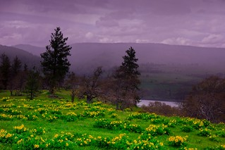 Balsamroot and Fog Columbia River Gorge  4885 D