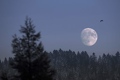 Pines and Moon, France (Sébastien Mamy) Tags: france cold doubs europe froid hiver landscape lune moon nature neige night nuit outdoor paysage sebastienmamyfr snow winter