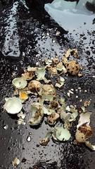 A devastation of quails' eggs (vw4y) Tags: quailseggs eggshells sopretty aqua paleblue speckled broken teatime food remains peeledeggs camouflage quails grounddwellers
