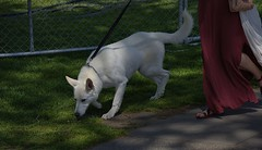 Nose To The Ground (swong95765) Tags: dog canine animal pet woman legs scent nose smells smelling sniff trail tracking