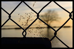 Fly Season  #HFF (Note-ables by Lynn) Tags: fences flies trapped spiderweb portdalhousie spring hff fencefriday
