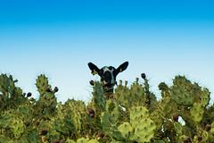 Cabra entre chumberas #camino de cabras #elche