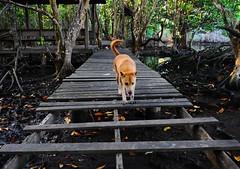,, The Big Leap ,, (Jon in Thailand) Tags: mangroves mangroveswamp jungle mama boardwalk bigleap rocky dog dogs k9 k9s trees swamp paws nikon nikkor d300 175528 littledoglaughedstories