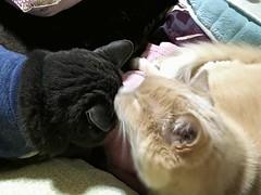 Animating Grooming (sjrankin) Tags: 23april2017 edited yubari hokkaido japan gif animatedgif animal cat bonkers norio groom wash futon