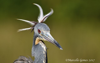 Tricolored Heron (Egretta tricolor) - TRHE  - To Comb or Not to Comb...