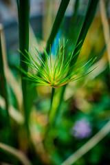 Tiny Burst (rg69olds) Tags: 04012017 24mm 6d nebraska sigma50mmf14artdghsm canon canoneos6d flower flowers greenhouse henrydoorlyzoo omaha plants sigma sigma24mmf14 tinyburst grass green indoor 24mmf14dghsm a