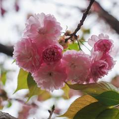 Pink Blossom (elenaleong) Tags: tokyo17 cherryblossom pinkflowers sakura backlights hitachiseasidepark elenaleong