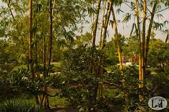 warm scenery (Alex R. Crisci) Tags: japan japanese bamboo tree trees warm woods