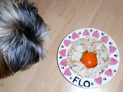 Flo Yorkie Poo Eating Turkey and Egg for Breakfast (@oakhamuk) Tags: flo yorkiepoo eating turkey egg for breakfast