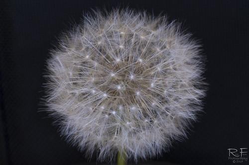 Dandelion Seed head 1