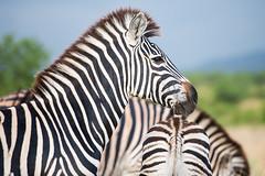 Burchell's zebra - Kruger NP - South Africa (bart coessens) Tags: animals animal mammal mammals herbivore zebra burchellszebra burchell safari sanp sanparks kruger krugernationalpark southafrica southafricannationalparks southernafrica limpopo explore terrific