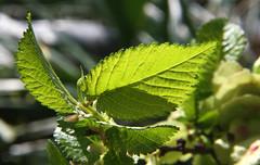07-IMG_8602 (hemingwayfoto) Tags: baum blatt feldulme flügelnuss laubbaum makro pflanze ulmeminor