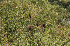 "Black Bear with cubs • <a style=""font-size:0.8em;"" href=""http://www.flickr.com/photos/63501323@N07/34246962100/"" target=""_blank"">View on Flickr</a>"