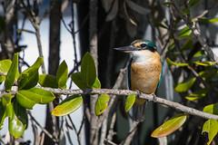 Kingfisher (RoosterMan64) Tags: bird kingfisher kotare nature newzealand wildlife