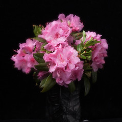 Rhododendron Blossoms from the Garden (annabelleny Thank you for your many views and comm) Tags: flowers floral rhododendron annjacobson blackbackground bouquet spring