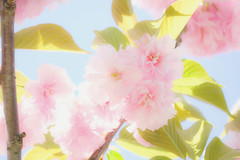 Seasonal color :   cherry (Colorful-wind) Tags: 2017 april cherry color flower fujifilm fukuoka japan kitakyushu light lightandshadow nature softfocus softness white xt1
