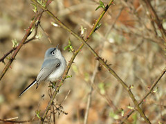 BGGN_2017 (Surfishrink) Tags: bluegraygnatcatcher pandapaspond polioptilacaerulea montgomerycounty virginia bird