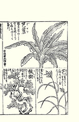 Top – Japanese banana; Bottom left, right – Japanese maple, eulalia grass (Japanese Flower and Bird Art) Tags: flower banana musa basjoo musaceae maple acer palmatum aceraceae eulalia grass miscanthus sinensis poaceae moriatsu hayashi kano woodblock picture book japan japanese art readercollection