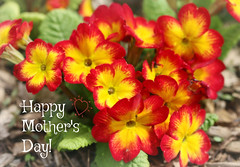 Tribute to all the Mothers! .✿ (Through Serena's Lens) Tags: dof happymothersday primula outdoor bright colorful celebration wishes