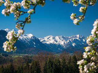 Frühlingsblüten Zugspitzblick