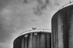 Empire (Keith Midson) Tags: cockatoo bird wings cascade cascades silo silos tasmania sky