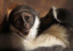 rolowaymonkey Duisburg BB2A0908 (j.a.kok) Tags: monkey duisburg mammal aap rolowaymonkey rolowaymeerkat meerkat zoogdier dier afrika africa