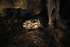 _MG_0354 (brutus132) Tags: lys skull rev fox